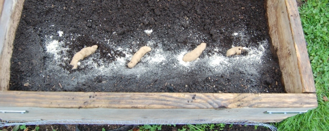 Trench method for growing potatoes