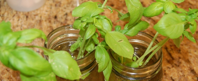 Basil cuttings