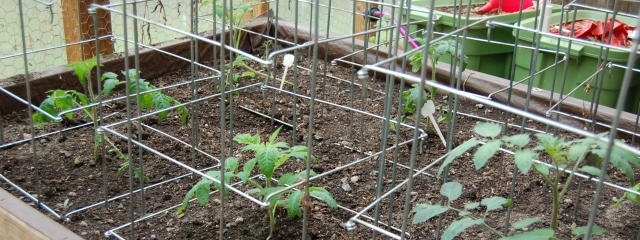Tomatoes, growing in the hot bed for one week