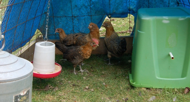 Three pullets and a young rooster