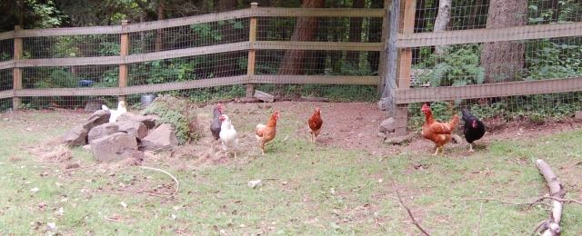 Chickens in the pasture