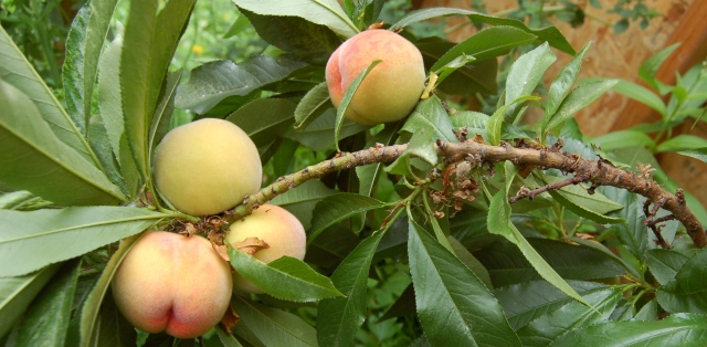 Mini-dwarf peach tree fruit