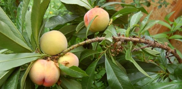 Mini-dwarf peach tree fruit