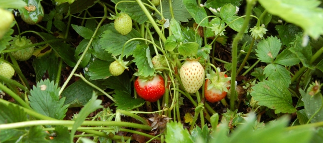 Strawberries in June