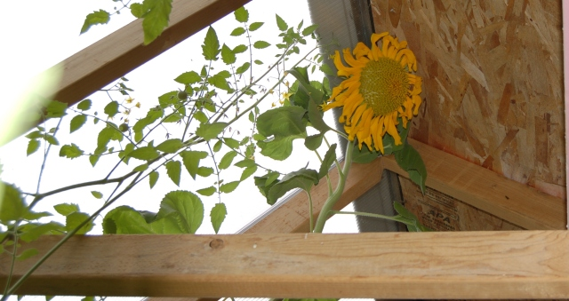 Sunflower in greenhouse