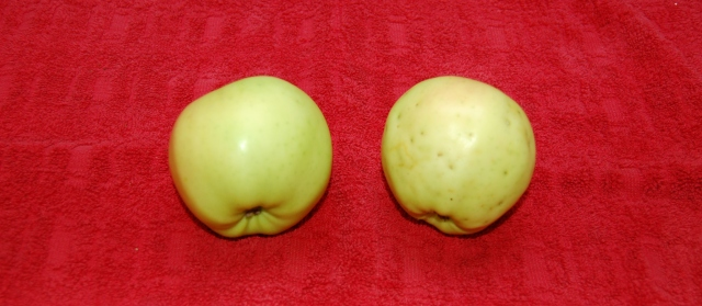 Exterior comparison of bagged and unbagged Chehalis apples