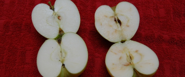 Interior comparison of bagged and unbagged Chehalis apples