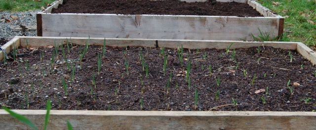 Garlic and pea beds