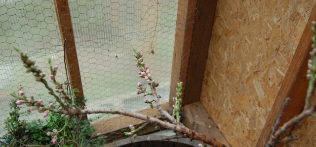 Peach blossoms in the greenhouse