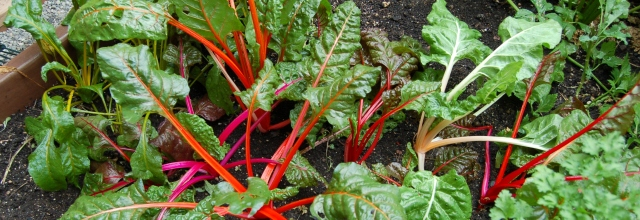 Swiss chard in the greenhouse