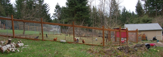 Chickens in the fenced in orchard