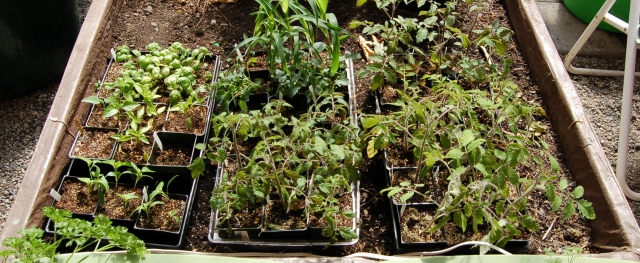 Tomato, pepper, basil, and corn seedlings hardening off