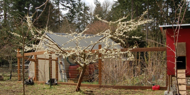 Shiro plum in bloom