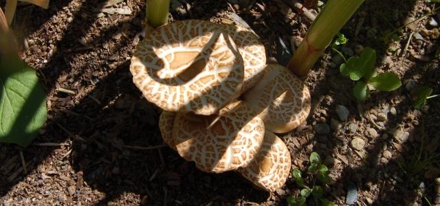 Mushrooms in garlic patch