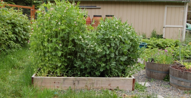 Pea raised bed