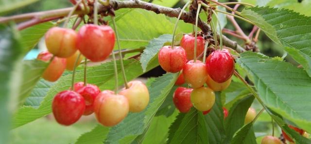 'Glacier' cherries