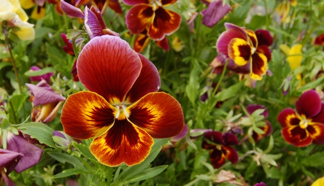 Self-seeded pansies