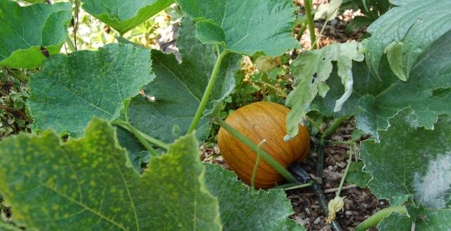 Ripening sugar pumpkin