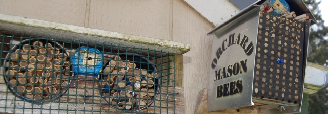 Orchard mason bee nests
